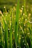 Hierba verde con descensos de roc?o en la salida del sol en primavera contra la perspectiva de la luz del sol Belleza de la natur imágenes de archivo libres de regalías