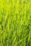 Hierba verde con descensos del rocío en el sol, primer Foto de archivo