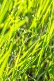 Hierba verde con descensos del rocío y de las telarañas, macro Fotos de archivo libres de regalías