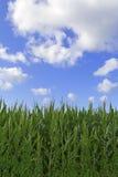 Hierba verde con el cielo azul brillante Imágenes de archivo libres de regalías