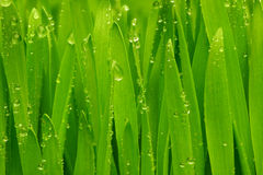 Hierba verde con gotas de rocío. Imagen de archivo