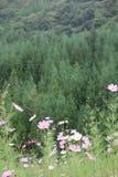 Hierba verde con la flor del gensang Fotos de archivo libres de regalías