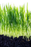 Hierba verde con la reflexión aislada en el fondo blanco Fotos de archivo