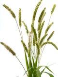 Hierba verde con las espiguillas Imagen de archivo