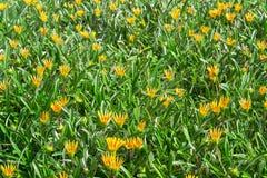 Hierba verde con las flores amarillas Foto de archivo libre de regalías