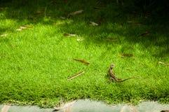 Hierba verde con paisaje del lagarto Imagen de archivo libre de regalías
