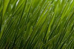 Hierba verde con rocío Imágenes de archivo libres de regalías