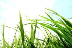 Hierba verde, concepto de la protección del medio ambiente Imagen de archivo libre de regalías