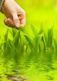 Hierba verde conmovedora de la mano Foto de archivo libre de regalías
