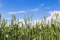 Hierba verde contra el cielo Imagenes de archivo