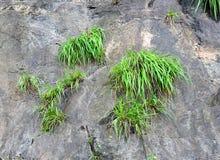 Hierba verde crecida en piedra sólida - un símbolo del crecimiento en adversidad Imagenes de archivo