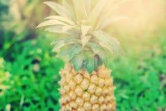 Hierba verde de la piña de la fruta del fondo fresco del verano Fotos de archivo libres de regalías