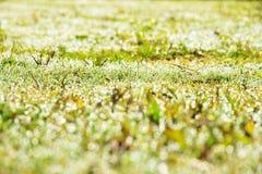 Hierba verde de la primavera de Resh Imagen de archivo