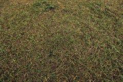 Hierba verde de la textura del fondo e hierba seca Fotografía de archivo libre de regalías