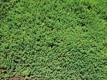 Hierba verde decorativa Fotos de archivo libres de regalías