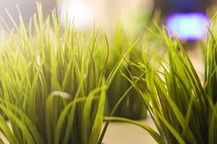 Hierba verde decorativa del primer interior imagenes de archivo