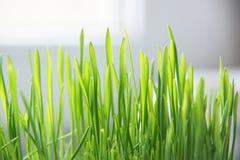 Hierba verde del césped. imagen de archivo libre de regalías