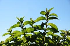 Hierba verde del mentha de la menta fresca que crece afuera Hojas de menta en l Foto de archivo