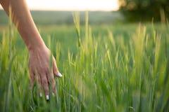 Hierba verde del tacto joven de la mano en campo durante la puesta del sol, naturaleza fotografía de archivo