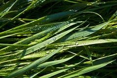 Hierba verde del trigo con las gotas de rocío Fotografía de archivo