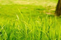 Hierba verde del verano de la primavera Fotos de archivo libres de regalías