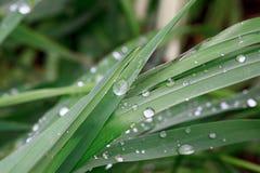 Hierba verde después de la lluvia con descensos de rocío Fotos de archivo libres de regalías