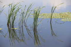Hierba verde en agua Fotografía de archivo libre de regalías