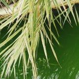 Hierba verde en agua Fotos de archivo