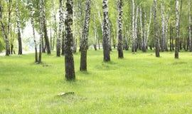 Hierba verde en arboleda del abedul en comienzo del verano Imagen de archivo libre de regalías
