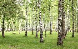 Hierba verde en arboleda del abedul en comienzo del verano Imagenes de archivo