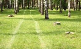 Hierba verde en arboleda del abedul en comienzo del verano Imagen de archivo