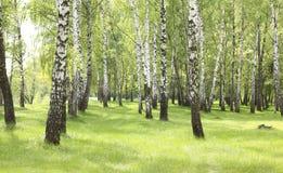 Hierba verde en arboleda del abedul en comienzo del verano Fotos de archivo
