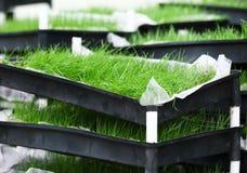 Hierba verde en bandeja imagen de archivo libre de regalías