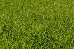Hierba verde en césped Imagen de archivo