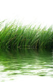 Hierba verde en el agua Imágenes de archivo libres de regalías