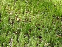 Hierba verde en el bosque, Lituania imagen de archivo