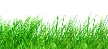 Hierba verde en el fondo blanco Imagenes de archivo