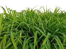 Hierba verde en el fondo blanco fotografía de archivo libre de regalías