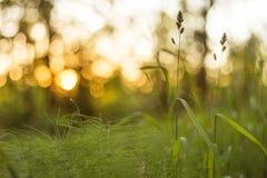 Hierba verde en el fondo del extracto de la puesta del sol Falta de definición, bokeh, macro imágenes de archivo libres de regalías