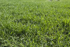 Hierba verde en el prado Foto de archivo libre de regalías