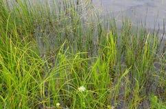 Hierba verde en el río foto de archivo libre de regalías