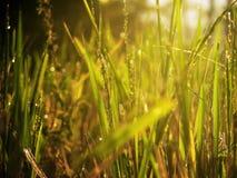 Hierba verde en la luz de la mañana Imagen de archivo libre de regalías