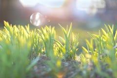 Hierba verde en la luz del sol de la mañana Concepto temprano de la primavera suave Fotografía de archivo libre de regalías