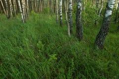 Hierba verde en prado del bosque Fotografía de archivo libre de regalías