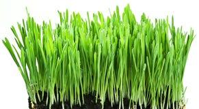 Hierba verde en un backgroud blanco Fotografía de archivo