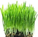 Hierba verde en un backgroud blanco Foto de archivo