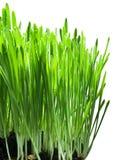 Hierba verde en un backgroud blanco Imagenes de archivo