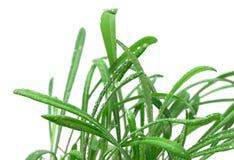 Hierba verde en un fondo blanco Imagen de archivo libre de regalías