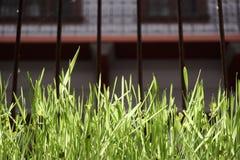 Hierba verde en ventana enjaulada Fotos de archivo libres de regalías
