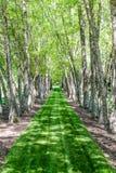 Hierba verde enorme entre los árboles de abedul Imagen de archivo